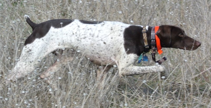 Gun Dog in action GSP