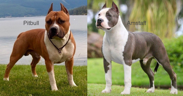 Pitbull vs American Staffordshire Terrier