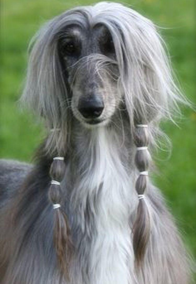 Afghan Hound style