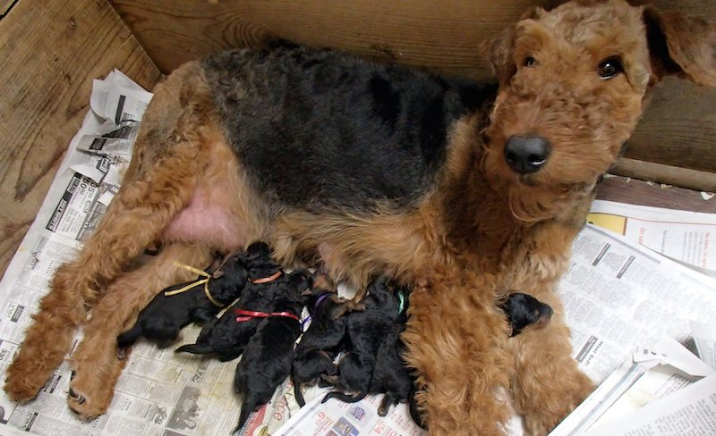 Airedale with puppies