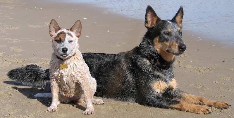 Australian Cattle Dogs Image