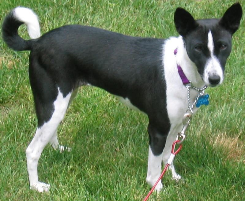 Basenji dog black color