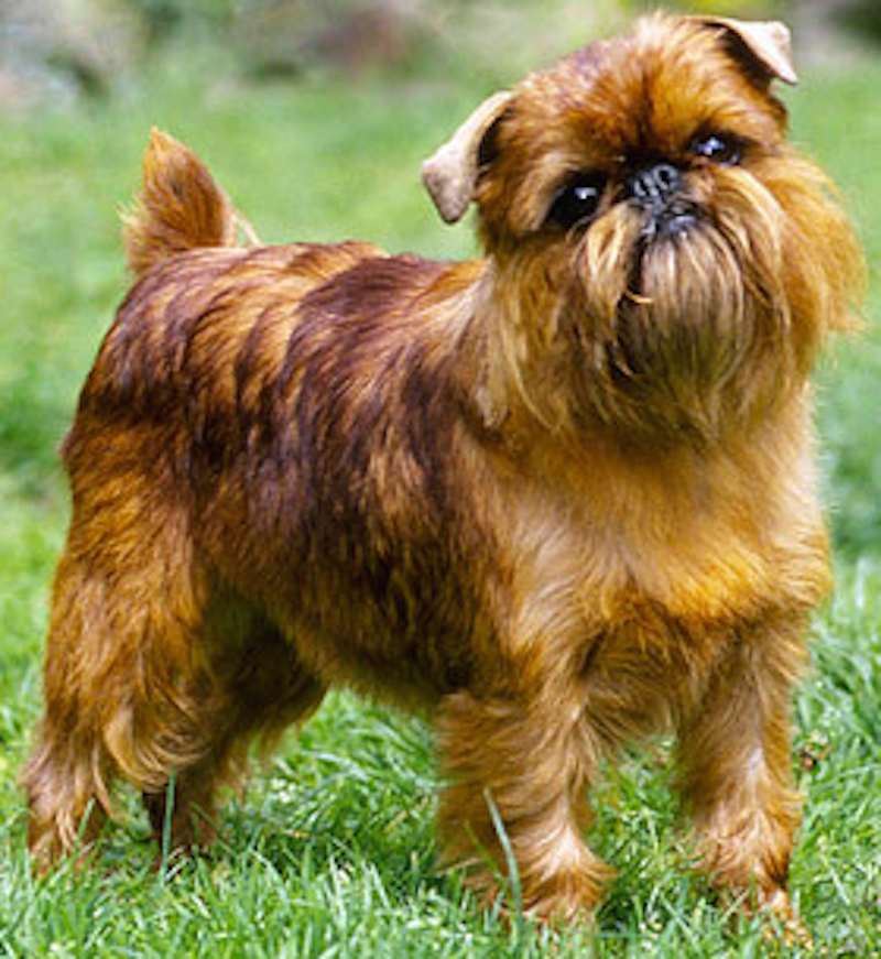 Brussels Griffon - Rough Brussels Griffon