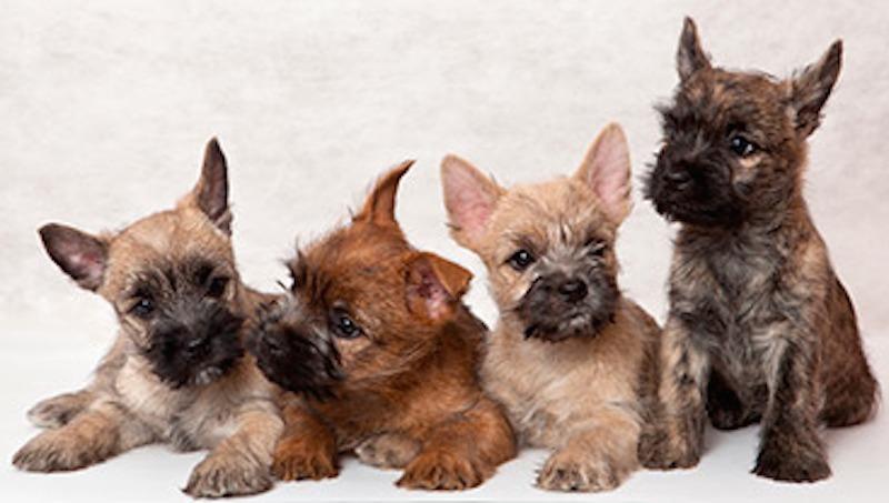 Cairn Terrier colours
