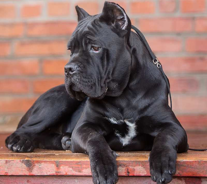 Cane Corso photo