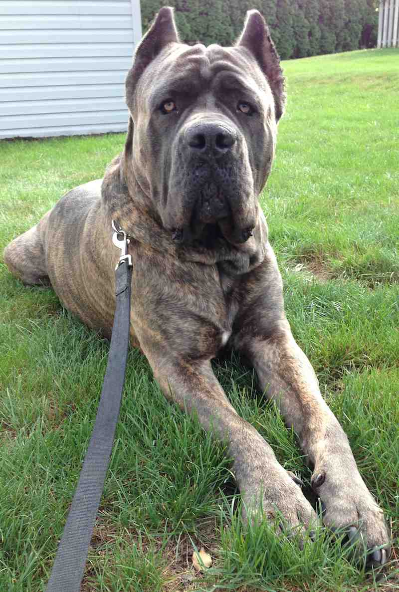 cane corso the italian mastiff information images k9rl
