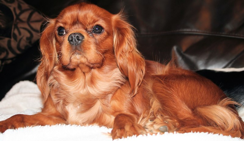 Cavalier King Charles Spaniel Ruby coloured