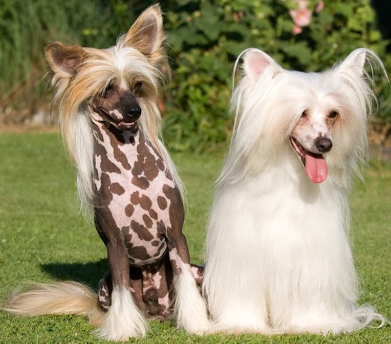Chinese Crested Dog Breed Varieties