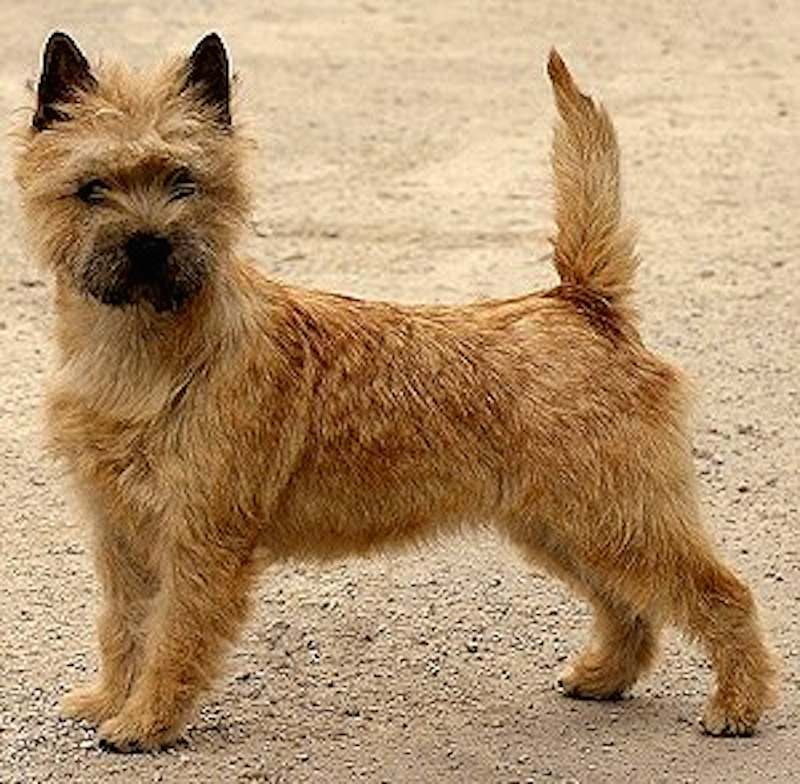 Cream Cairn Terrier