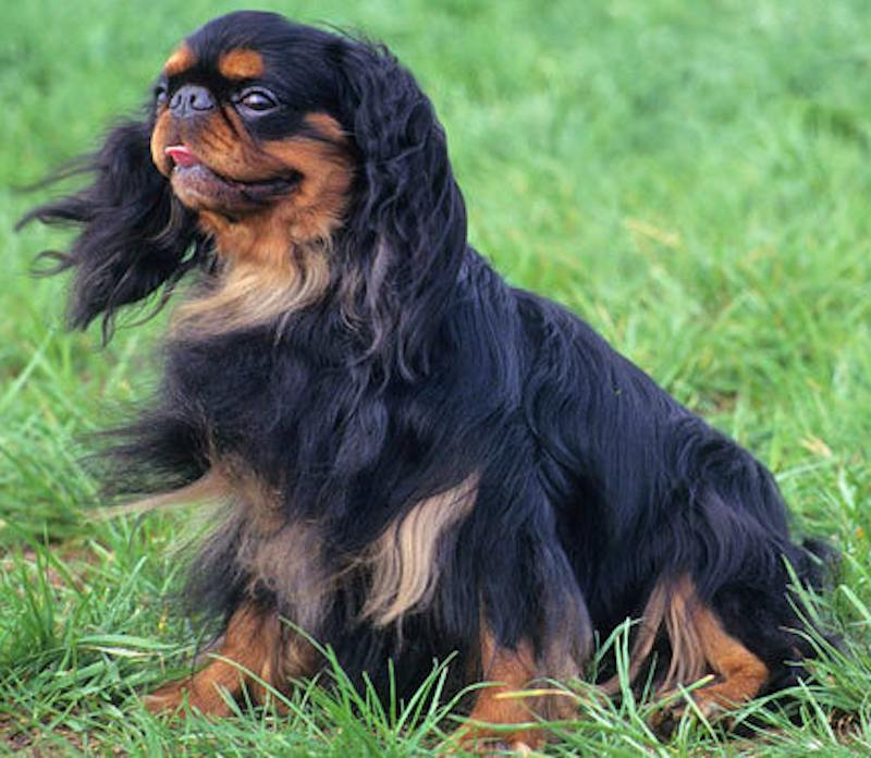 English Toy Spaniel Black and Tan Colour