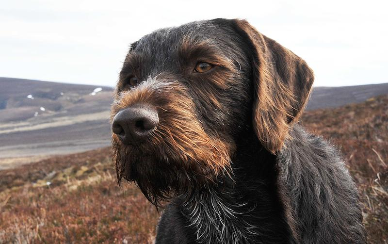 German_Wirehaired_Pointer_dog_breed