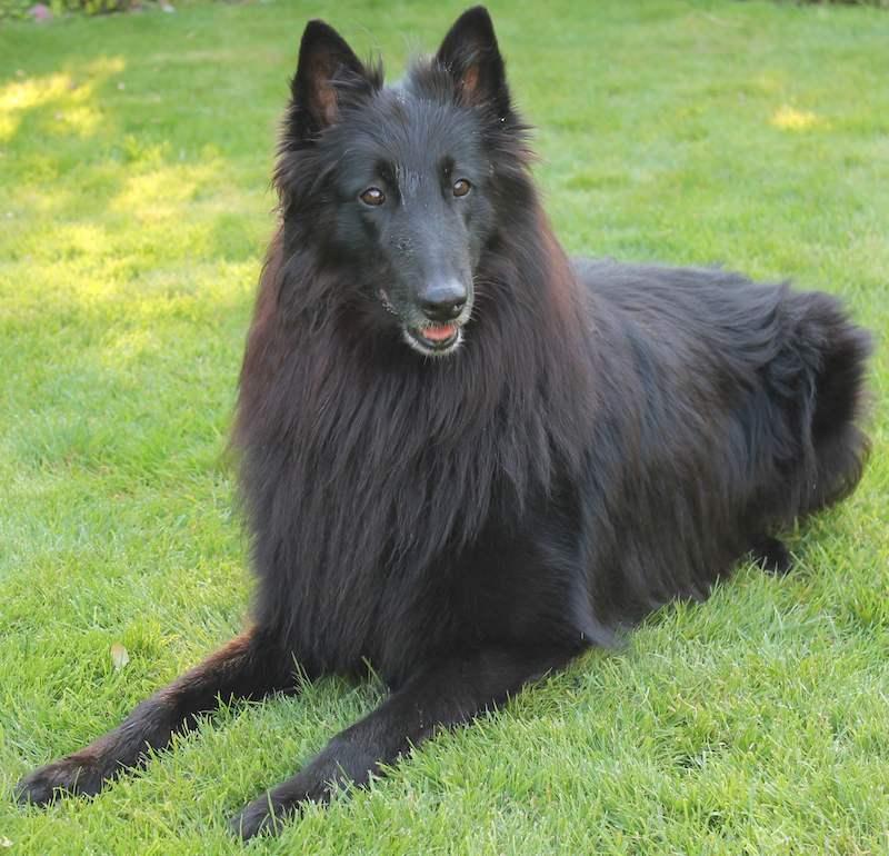 Groenendael - Belgian Shepherd Dog Groenendael