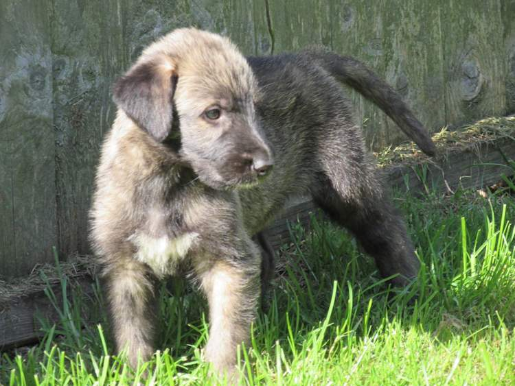 Irish Wolfhound puppy