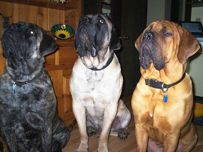 Old English Mastiff colors