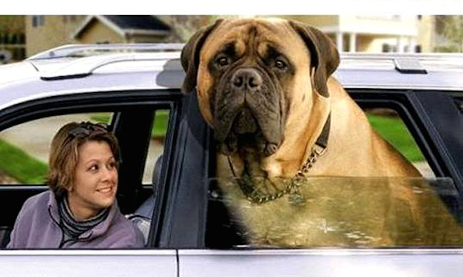 mastiff - old english mastiff - dog breed information and images - k9rl