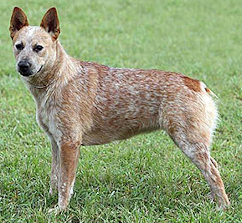 Red Australian Stumpy Tail Cattle Dog