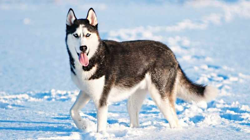 Siberian Husky Dog Breed Information Images K9 Research Lab