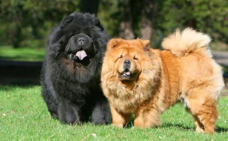 Chow Dog Breed Information