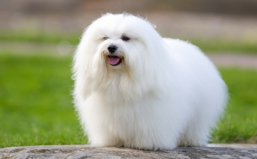 Coton Dogs For Sale