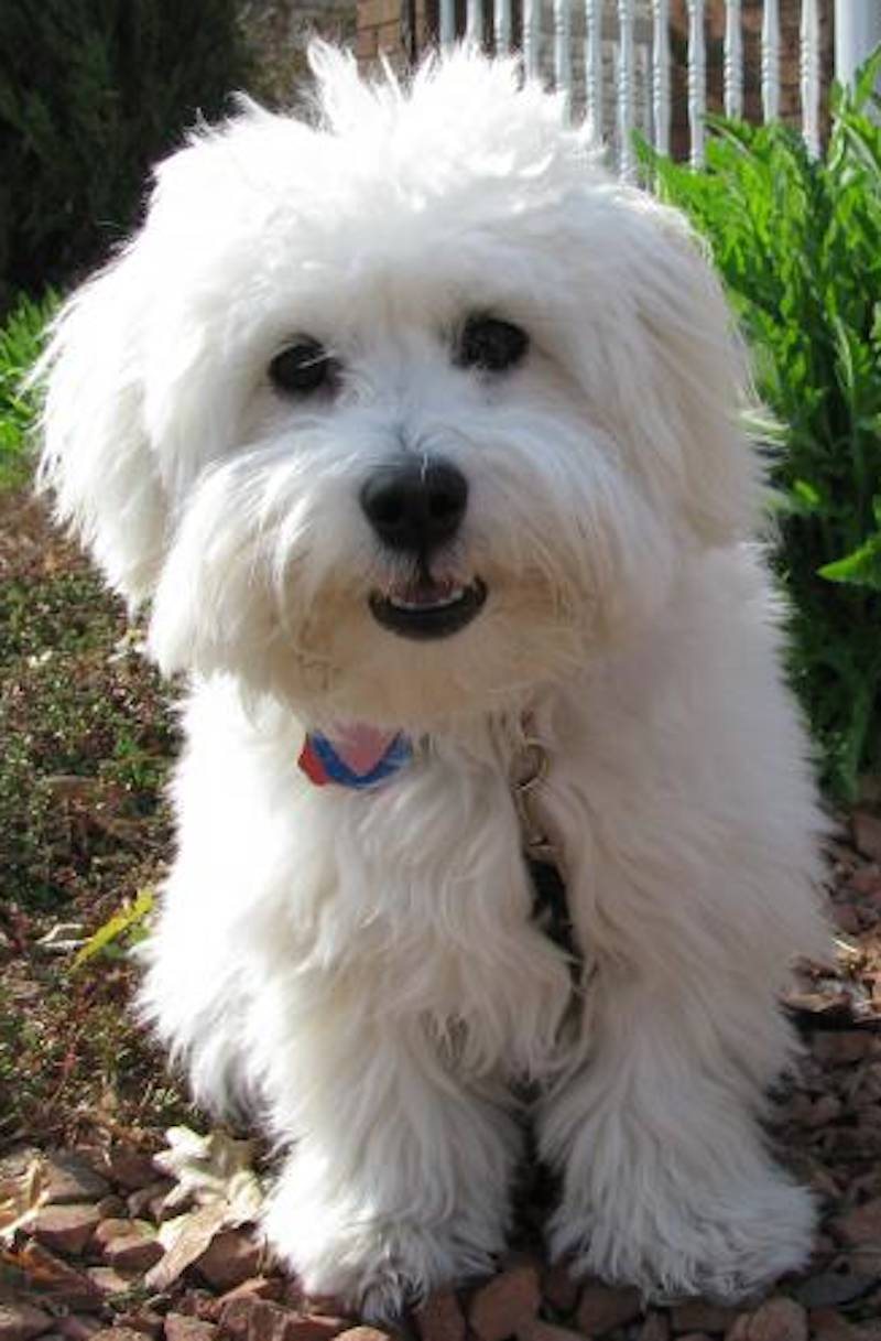 Coton de Tulear photo