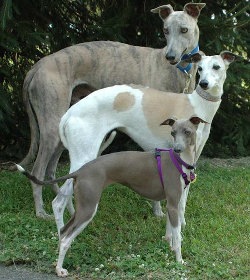 Greyhound_Whippet_Italian Greyhound