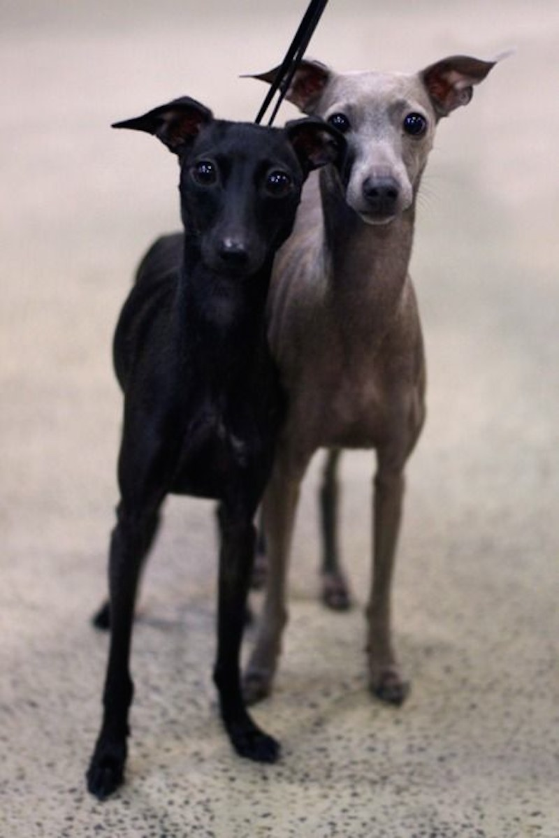 Italian Greyhound  Iggys  Breed Information and Images  K9RL