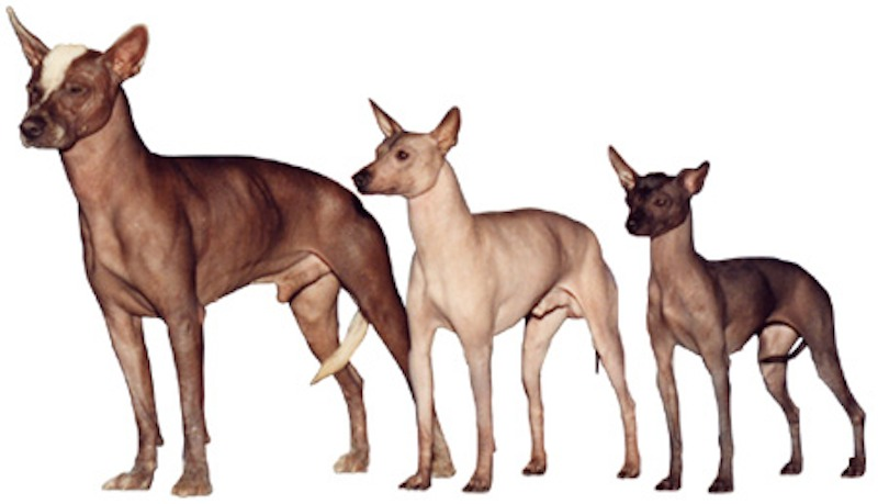 Xoloitzcuintli_toy_miniature_regular