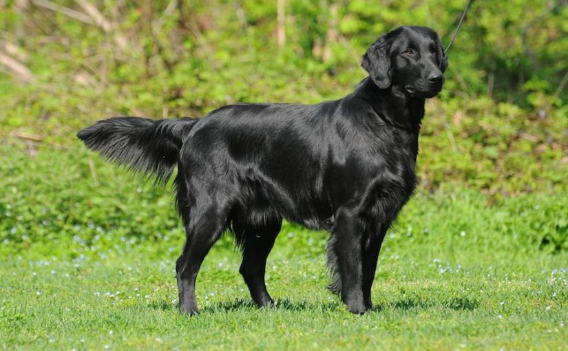 Flat Coated Retriever dog breed