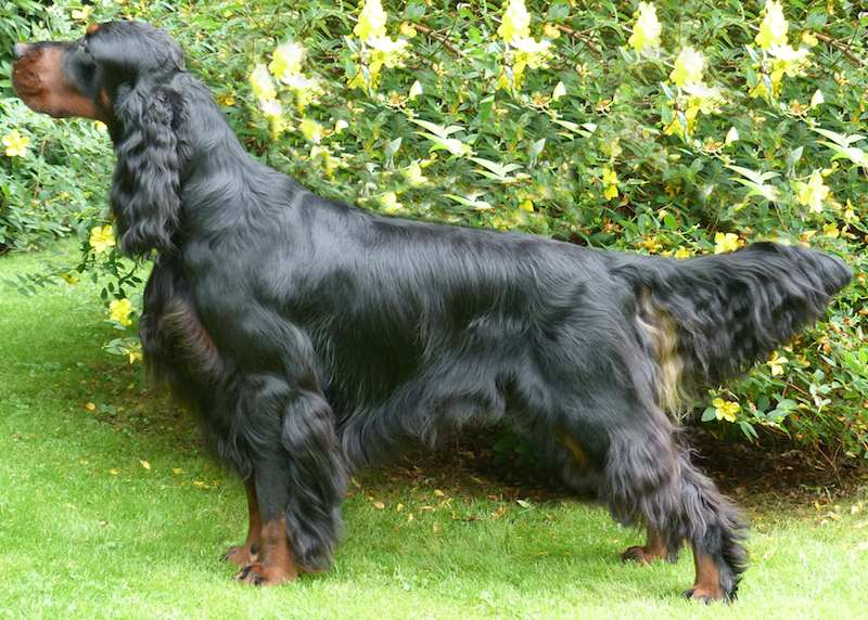 Gordon Setter Dog Breed
