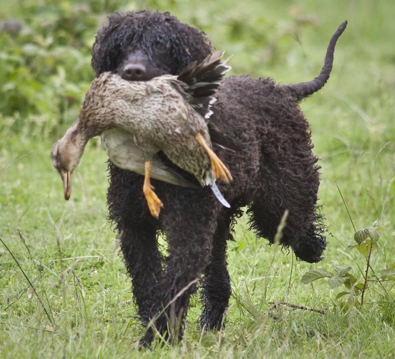 Irish Water Spaniel dog image