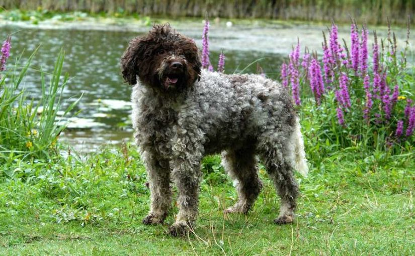 Lagotto Romagnolo dog breed image