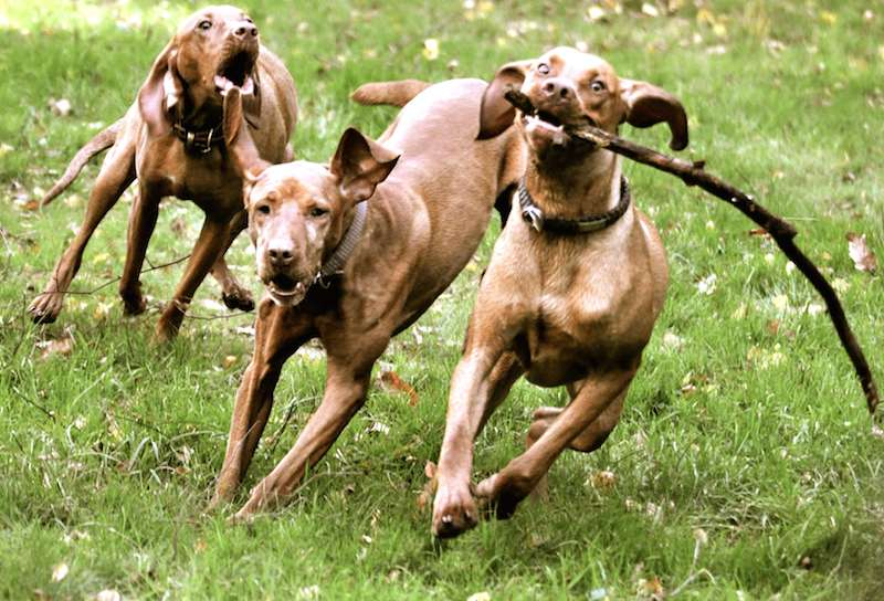 Smooth Vizsla dogs