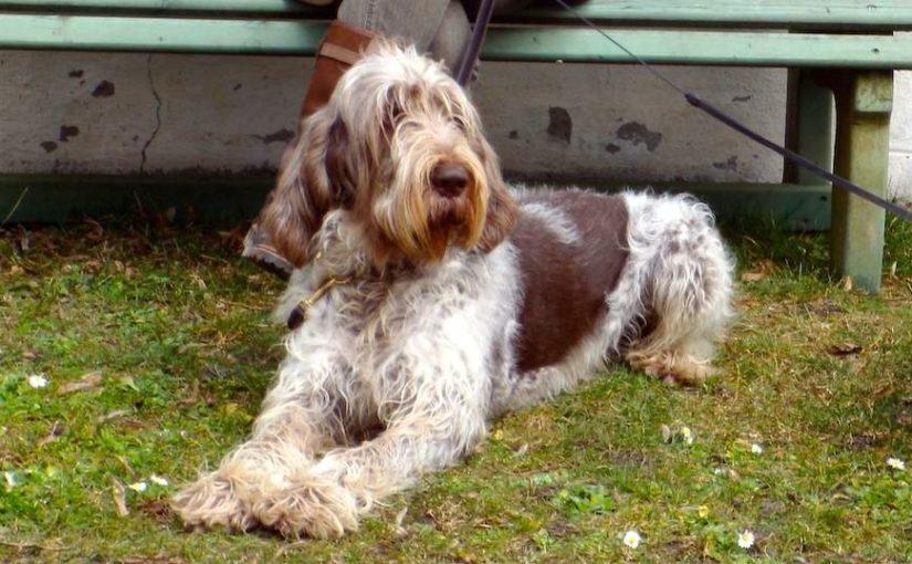Spinone Italiano dog breed image