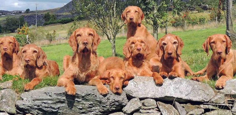 Wirehaired Vizsla - dog breed information and images - K9RL