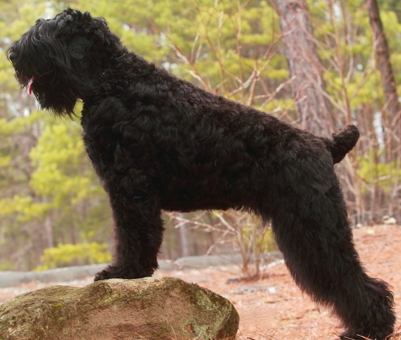 Black Russian Terrier Image