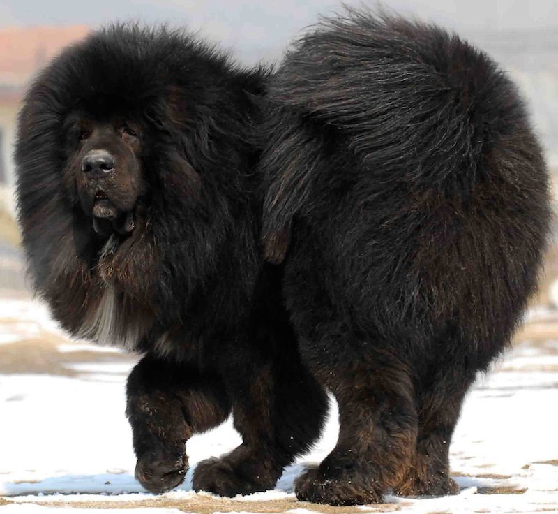 Tibetan Mastiff - Dog Breed Information and Images - K9 ...