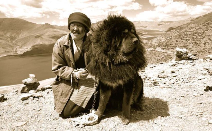 Tibetan Mastiff Dog Breed Image