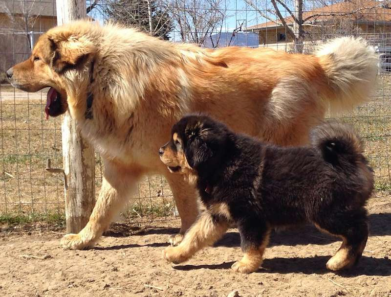 Tibetan Mastiff with puppy