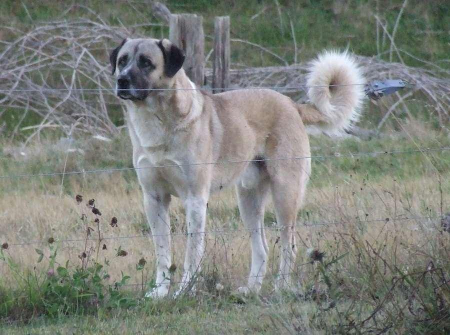 Anatolian Shepherd Dog Image
