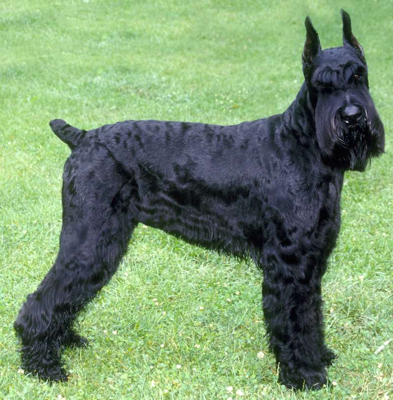 Giant Schnauzer - Dog Breed Information and Images - K9 Research