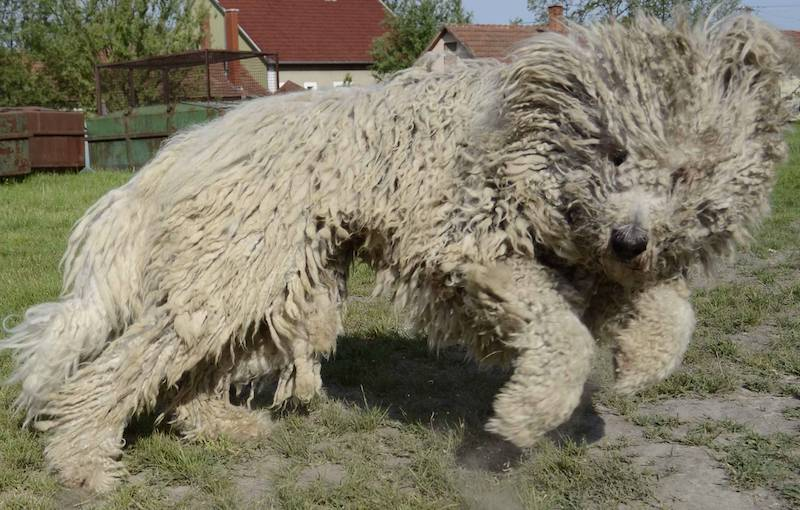 Komondor - Dog Breed information and Images - K9 Research Lab