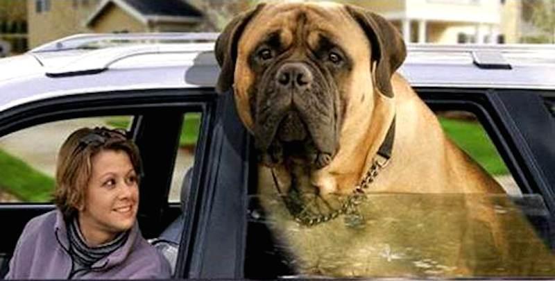 Mastiffs Mastiff Type Dog Breeds