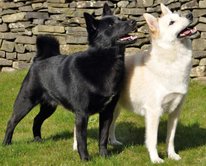Norwegian Buhund colours
