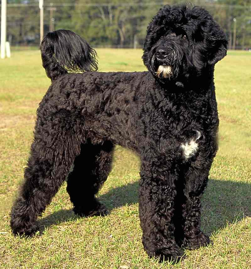 Retriever clip Portuguese Water Dog