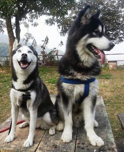 Siberian Husky Vs Alaskan Malamute K9 Research Lab