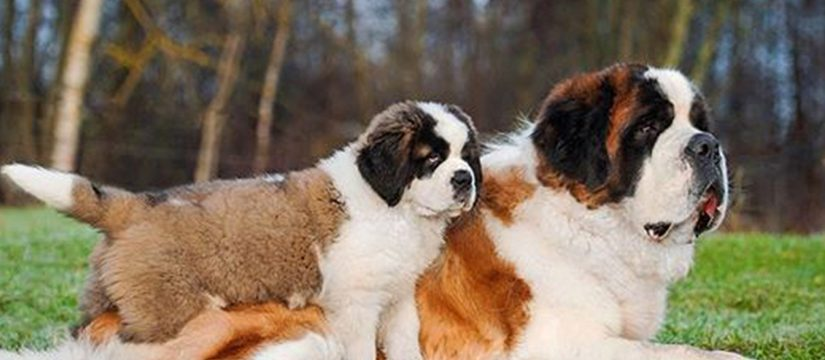 Saint Bernard – Beautiful Pics
