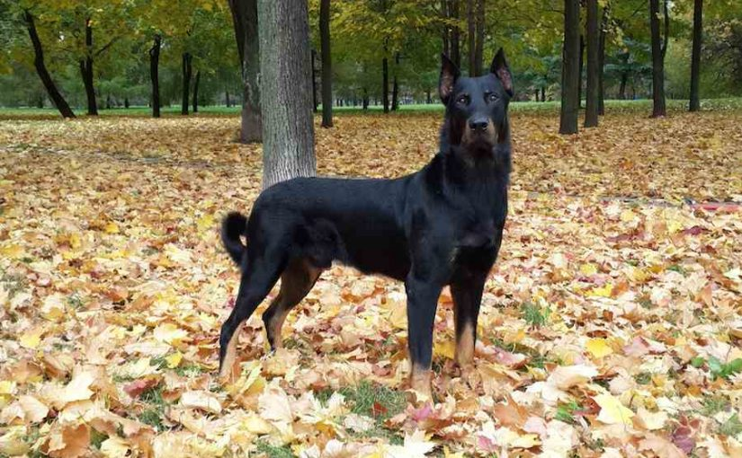 Beauceron dog breed image