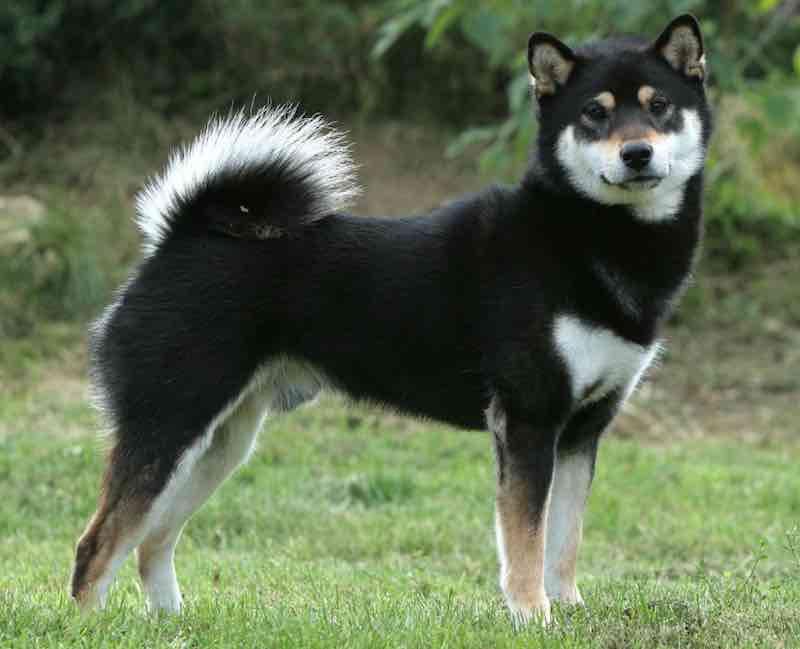 Black Sesame Shikoku Dog