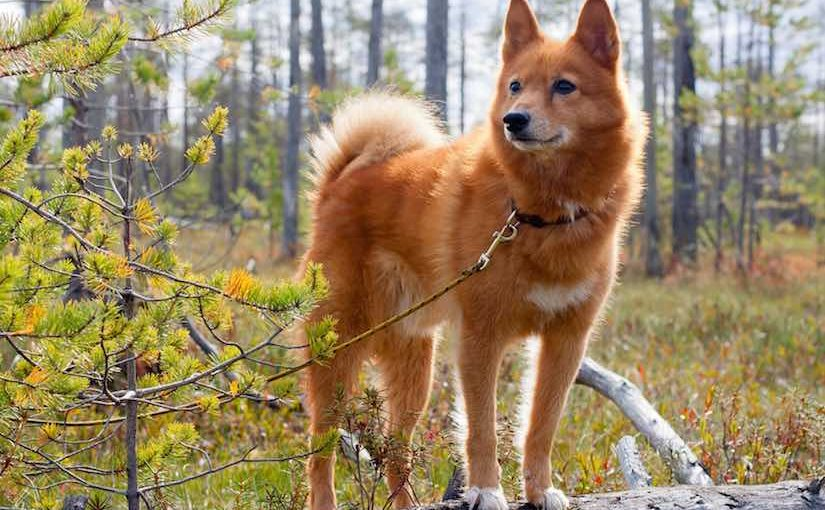 Finnish Spitz Dog Breed Information And Images K9