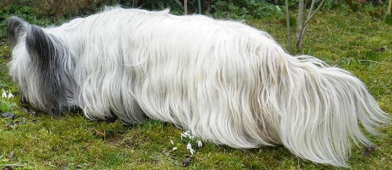 Long Skye Terrier